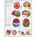 Puzzle  Eurographics-6000-0256 Das menschliche Gehirn