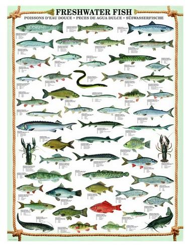 Puzzle  Eurographics-6000-0312 Süßwasserfische