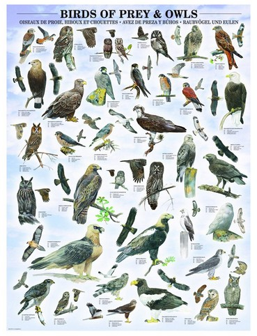 Puzzle  Eurographics-6000-0316 Raubvögel und Eulen