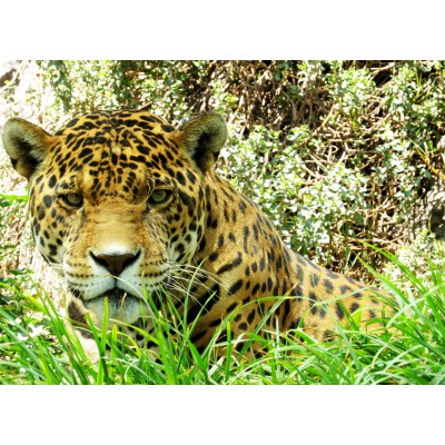 Puzzle  Grafika-Kids-00535 Jaguar