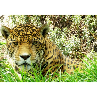 Puzzle  Grafika-Kids-00536 Jaguar