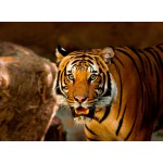 Puzzle  Grafika-Kids-00540 Tiger