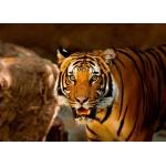 Puzzle  Grafika-Kids-00542 Tiger