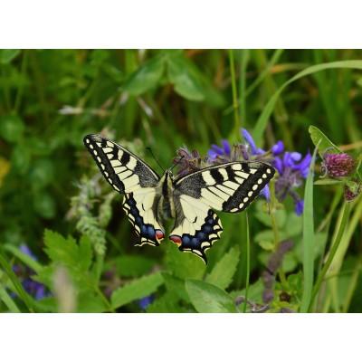 Puzzle  Grafika-Kids-01221 Schmetterling