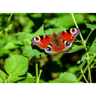 Puzzle  Grafika-Kids-01226 Schmetterling