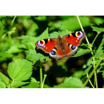 Puzzle  Grafika-Kids-01227 Schmetterling