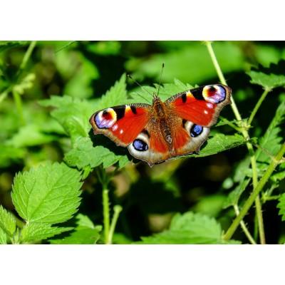 Puzzle  Grafika-Kids-01228 Magnetische Teile - Schmetterling