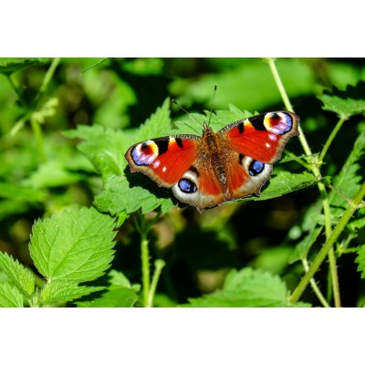 Puzzle  Grafika-Kids-01230 XXL Teile - Schmetterling