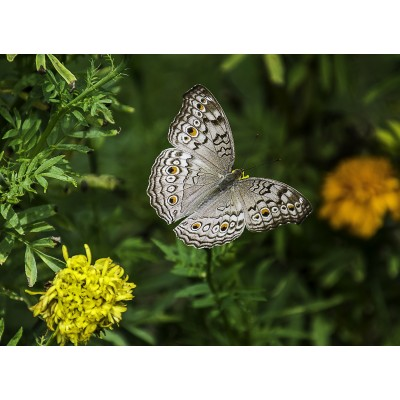 Puzzle  Grafika-Kids-01235 Schmetterling