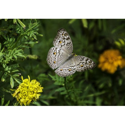Puzzle  Grafika-Kids-01236 Schmetterling