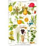 Puzzle  Grafika-00591 Illustration du Larousse Medical Illustré: Plantes Astringentes et Apéritives, 1912