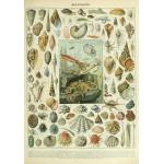 Puzzle  Grafika-00601 Illustration du Nouveau Larousse Illustré: Mollusques, XIXè Siècle
