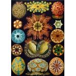 Puzzle  Grafika-00618 Ernst Haeckel: Les Ascidies, 1904