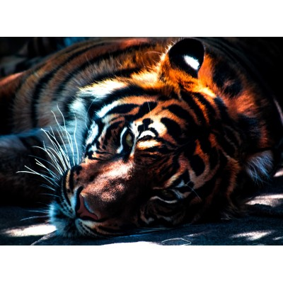 Puzzle Grafika-01490 Tiger