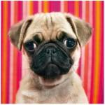 Puzzle  Heye-70173-29629 Hund Mops