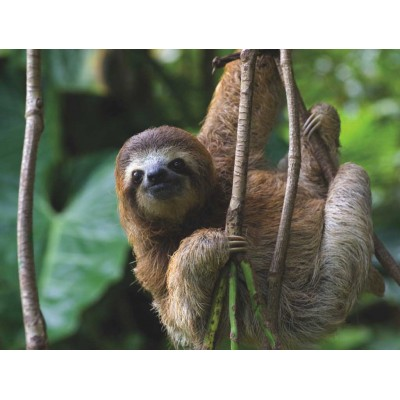 Puzzle  New-York-Puzzle-NG1984 XXL Teile - Three Toed Sloth