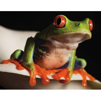 Puzzle  New-York-Puzzle-NG2029 Red-Eyed Tree Frog Mini