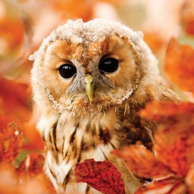 Puzzle Otter-House-Puzzle-73912 RSPB Tawny Owl