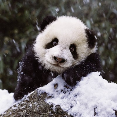 Puzzle Ravensburger-15236 Süßer Panda